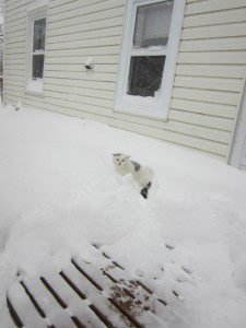 Star, a white cat, in the snow